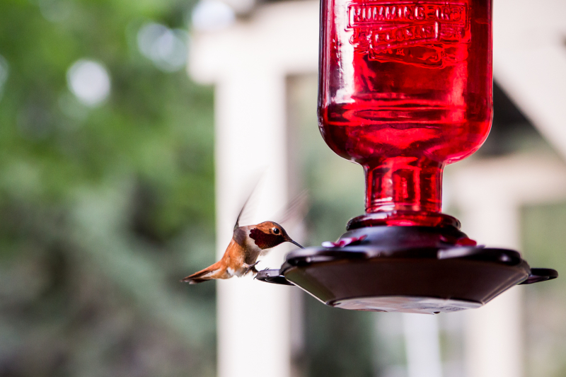 Hummingbird-12